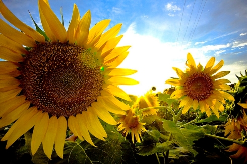 Sunflowers by Jrtippins